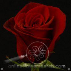 Rose Black Magic 60 cm
