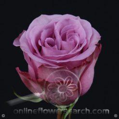 Rose Blue Curiosa 40 cm