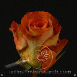 Rose Leonidas 40 cm