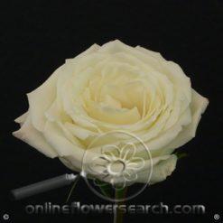 Rose Snowy Jewel 50/60 cm