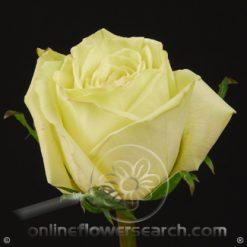 Rose Green Tea 60 cm