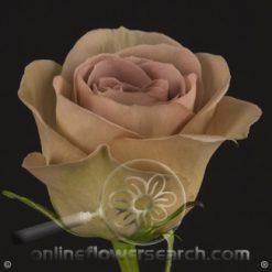 Rose Amnesia 60 cm