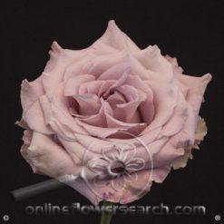 Rose Faith 50 cm