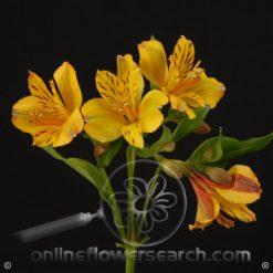 Alstroemeria Jamaica Select