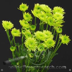 Poms Novelty Green Athos Select