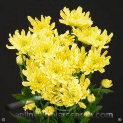 Poms Cushion Yellow Zembla Select