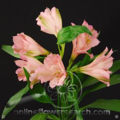 Alstroemeria Primadonna Select