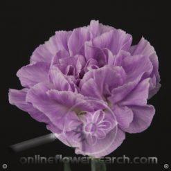 Carnation Lavender Select- Tiepolo Fuscia