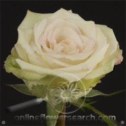 Rose Green Fashion 50 cm