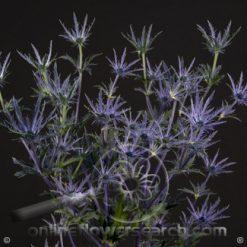 Eryngium Blue Bell 70 cm