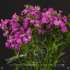 Dianthus Hot Pink Amazon Select