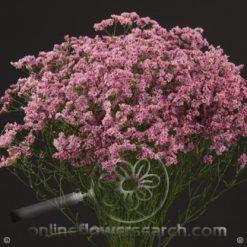Limonium Pink 70-80 cm