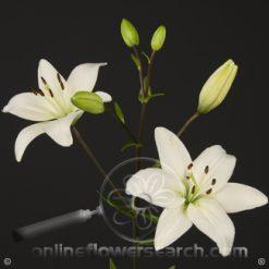 Lily LA White 3-5 bl.
