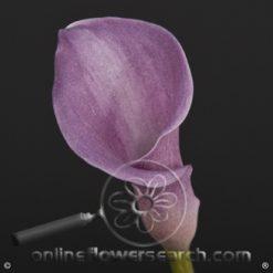 Mini Calla Rubylite 40-45 cm