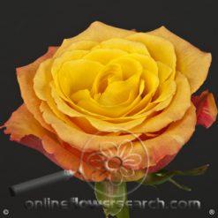 Rose Confidential 50/60 cm