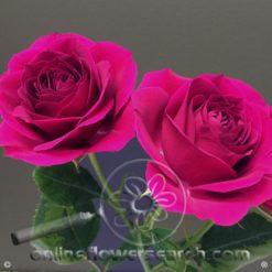 Spray Rose Gem Star 50 cm