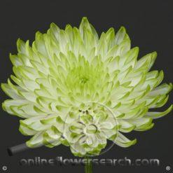 Poms Cushion Green Bicolor Zembla Lime Select