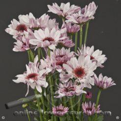 Poms Novelty Lavender Amaze Select