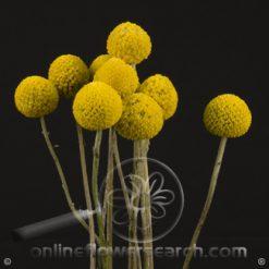 Craspedia JUMBO Yellow 70 cm