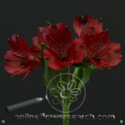 Alstroemeria Nadia Select