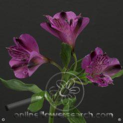Alstroemeria Palermo Select