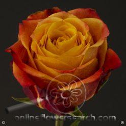 Rose Atomic 60 cm