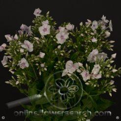 Phlox Light Pink 70 cm