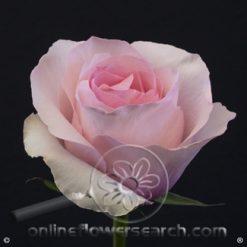 Rose Christa 50/60 cm