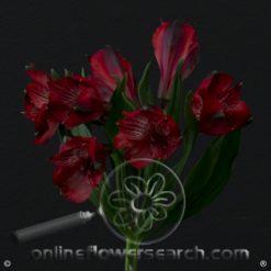 Alstroemeria Assorted Red Fancy