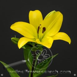 Lily LA Yellow 3-5 bl.