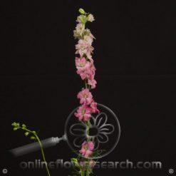 Larkspur Pink 80-90 cm