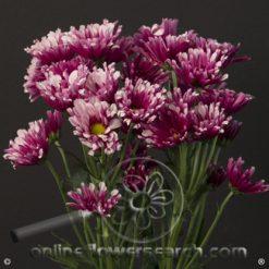 Poms Novelty Lavender Bicolor Smashing Select