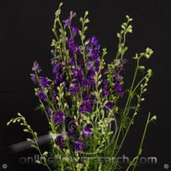 Larkspur Purple-Blue 80-90 cm