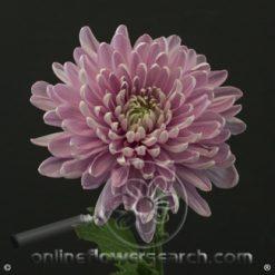 Chrysanthemum Cremon Rossano Charlotte Select