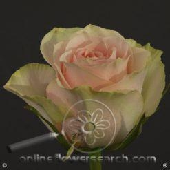 Rose Frutteto 60 cm