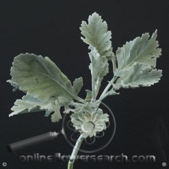 Dusty Miller Wide Leaf 60 cm