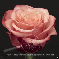 Rose Bogart 50/60 cm