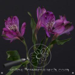 Alstroemeria Cote d'Azur Select