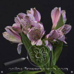 Alstroemeria Jewel Select