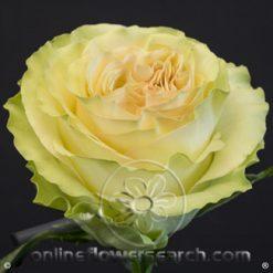 Rose Dynamic 60 cm