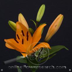 Lily LA Orange 3-5 bl.