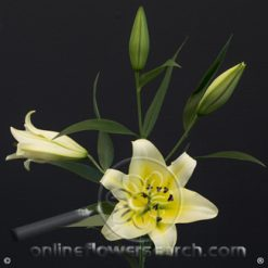 Lily OR Yellow 3/5 bl.