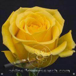 Rose Super Sun 60 cm