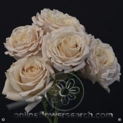 Spray Rose Sahara Sensation 50 cm