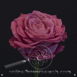 Rose All4Love 50/60 cm