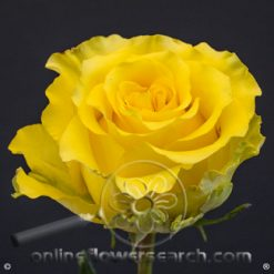 Rose Regatta 60 cm