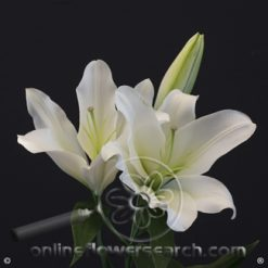 Lily OR White 3-5 bl.