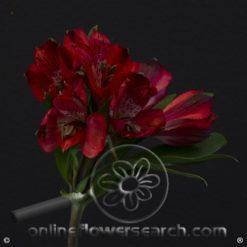 Alstroemeria Romance Select