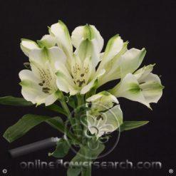 Alstroemeria Frozen Select
