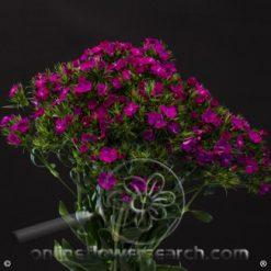 Dianthus Purple Amazon Select